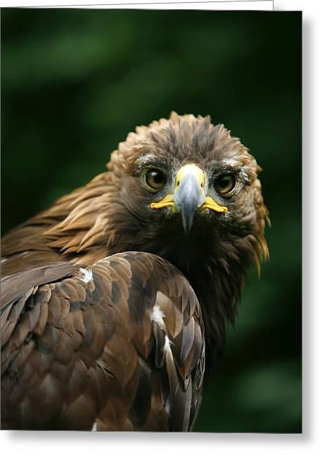 Golden Eagles Face Aquila Chrysaetos Greeting Card