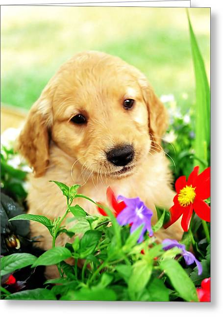 Golden Retriever. Greeting Card by Oscar Williams