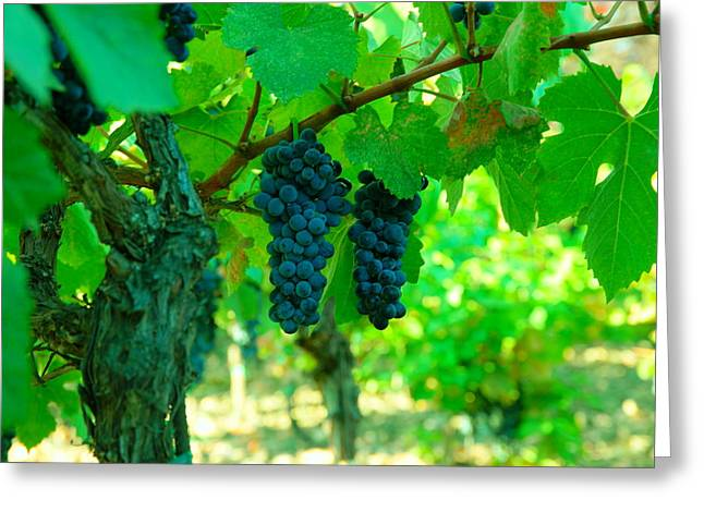 The Beauty Of Grapes On The Vine Greeting Card