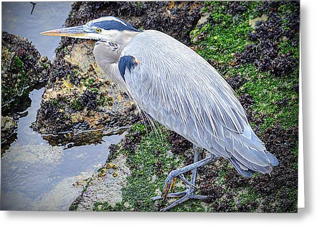 Greeting Card featuring the photograph Great Blue Heron by AJ Schibig