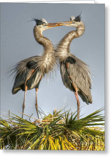 Great Blue Heron Couple Greeting Card by Myrna Bradshaw