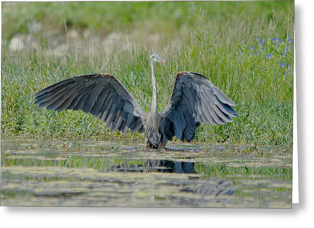 Hunting Bird Greeting Cards - Great Blue Heron Hunting In The Pond Greeting Card by Roy Williams