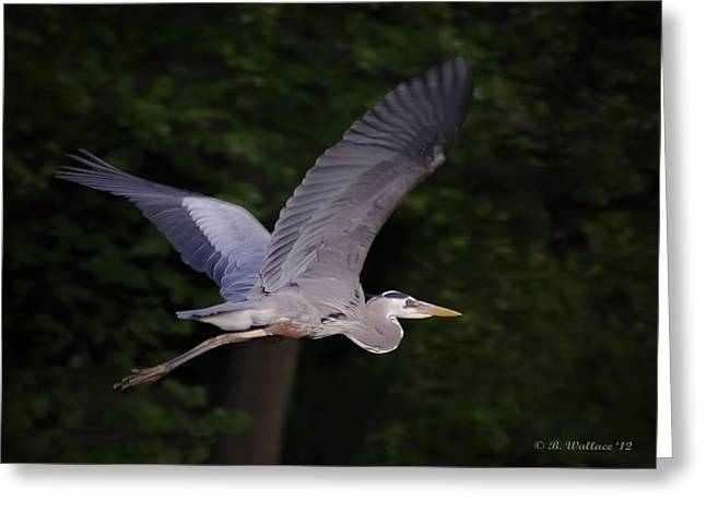 Great Blue Heron In Flight Greeting Card by Brian Wallace