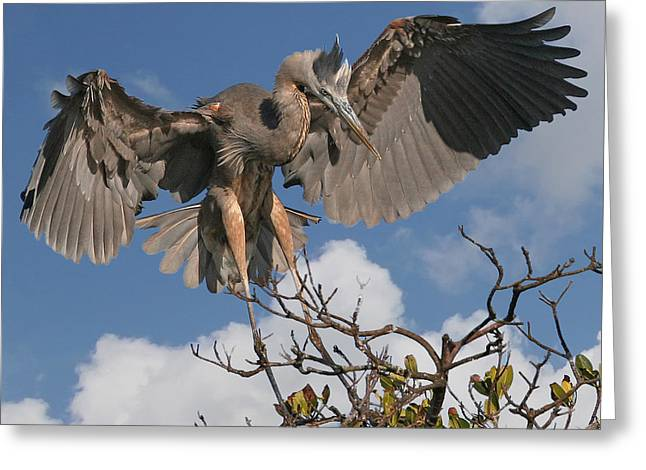 Great Blue Heron Greeting Card by Larry Linton