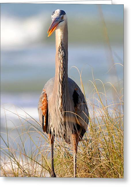 Great Blue Heron  Greeting Card by Rose  Hill
