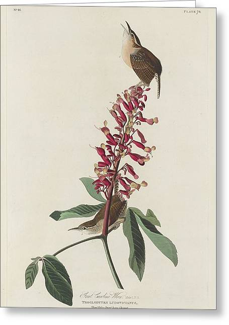 Great Carolina Wren Greeting Card by Dreyer Wildlife Print Collections