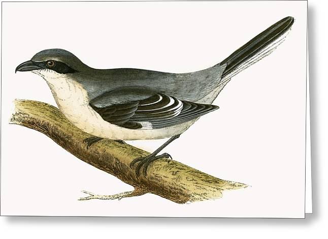 Great Grey Shrike Greeting Card by English School