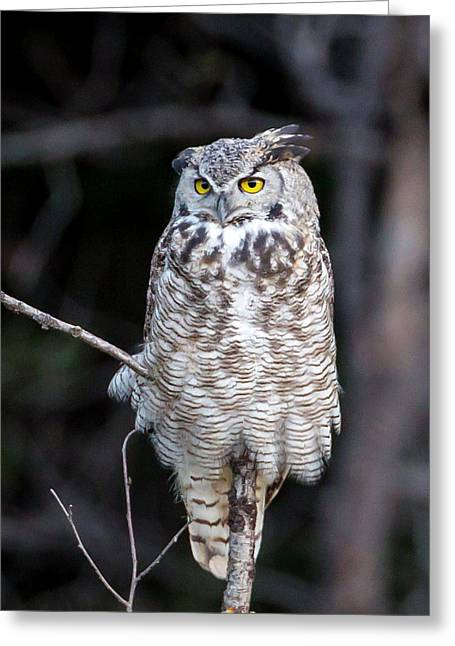 Great Horned Owl  Greeting Card by Jack Bell