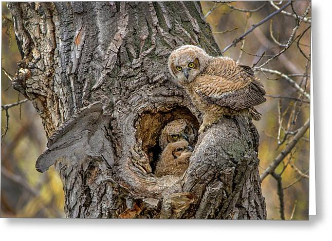 Great Horned Owlets In A Nest Greeting Card