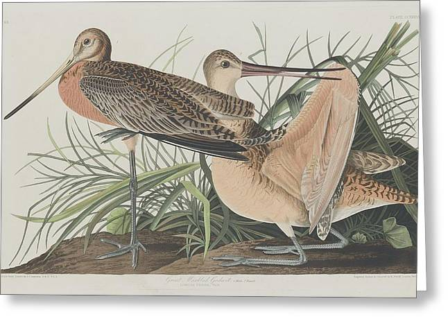 Great Marbled Godwit Greeting Card