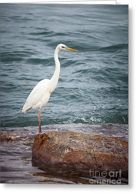 Great White Heron Greeting Card by Elena Elisseeva