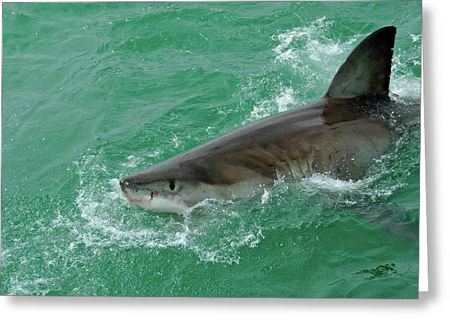 White Shark Greeting Cards - Great White Shark Greeting Card by Sami Sarkis