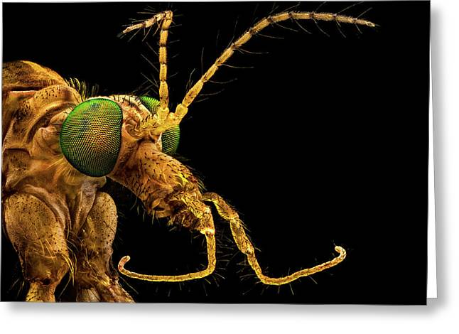 Greeting Card featuring the photograph Green Eyed Crane Fly by Mihai Andritoiu