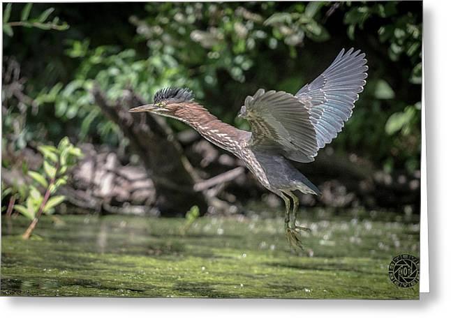 Green Heron Assabet River Massachusetts Greeting Card by Stephen Beyer