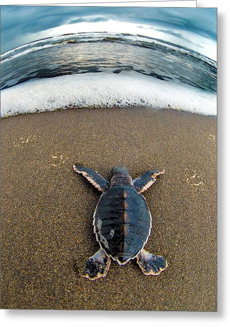 Green Sea Turtle Chelonia Mydas Greeting Card by Panoramic Images