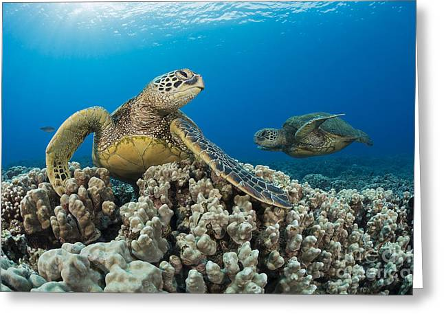 Green Sea Turtles  Chelonia Mydas , An Greeting Card