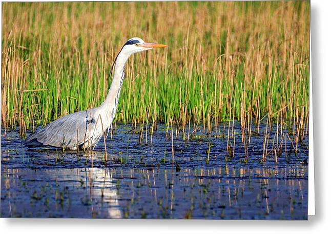 Grey Heron, Ardea Cinerea, In A Pond Greeting Card