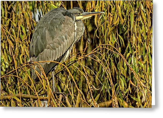 Greeting Card featuring the photograph Grey Heron by Cliff Norton