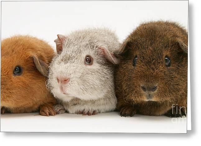 Guinea Pigs Greeting Card by Jane Burton