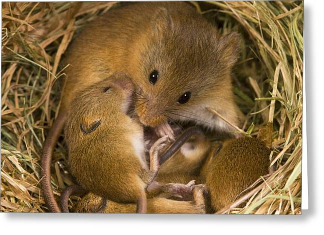 Harvest Mouse And Pups Greeting Card by Jean-Louis Klein & Marie-Luce Hubert