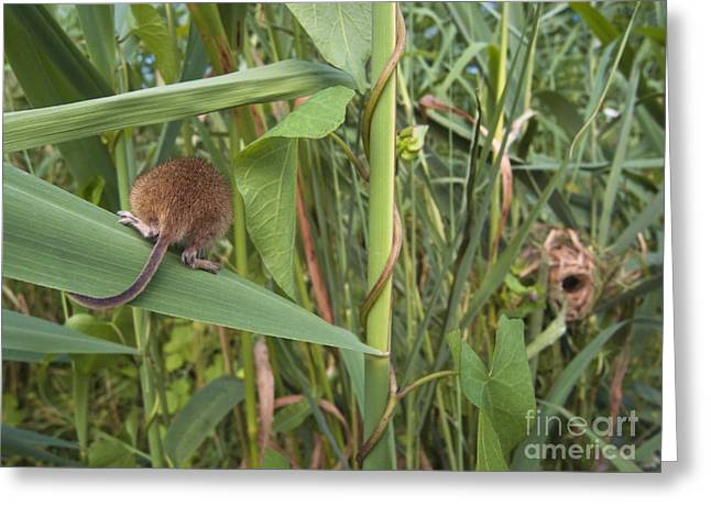 Harvest Mouse At Nest Greeting Card