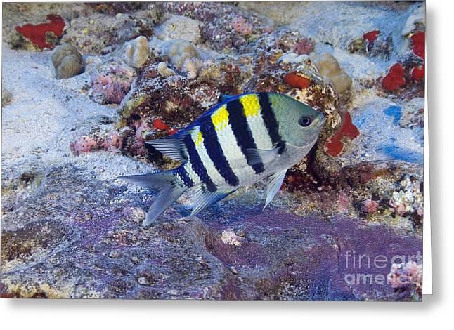 Hawaii, Marine Life Greeting Card by Dave Fleetham - Printscapes