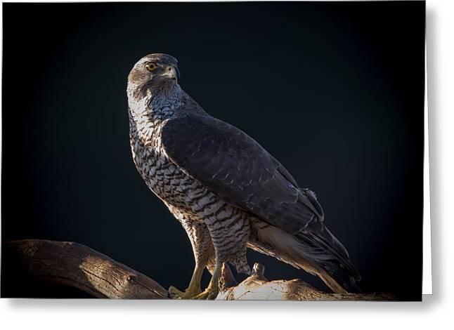 Hawk-eye Greeting Card