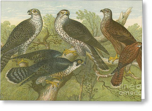 Hawks And Falcons Greeting Card