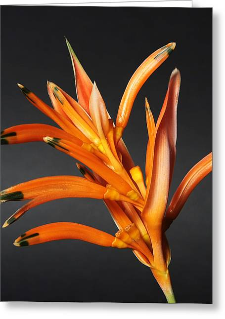 Heliconia Greeting Card by Lynn Berreitter