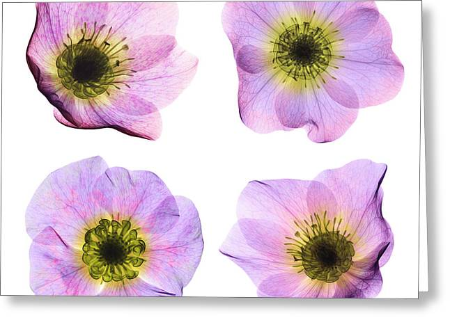 Hellebore Flowers, X-ray Greeting Card by Ted Kinsman