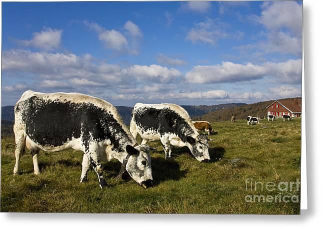 Herd Of Vosgienne Cows Greeting Card by Jean-Louis Klein & Marie-Luce Hubert