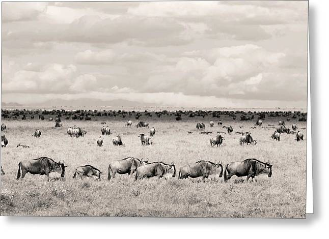 Herd Of Wildebeestes Greeting Card