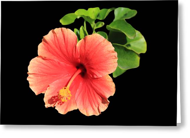 Hibiscus Greeting Card by Shane Bechler