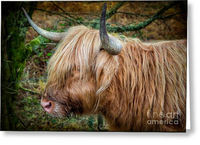 Highland Cow Greeting Card by Adrian Evans