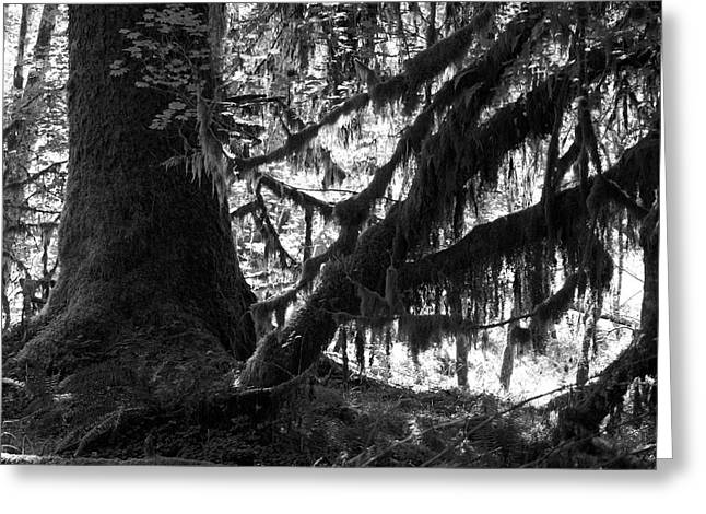 Hoh Rain Forest Greeting Card by Sonja Anderson