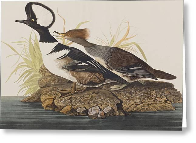 Hooded Merganser Greeting Card by John James Audubon