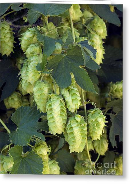 Hop Cones Greeting Card by Inga Spence