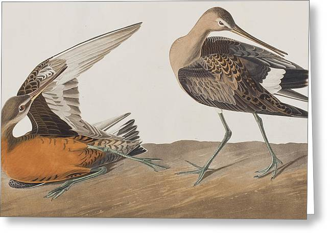 Hudsonian Godwit Greeting Card