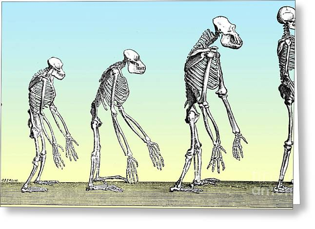 Human Evolution  Greeting Card by Science Source