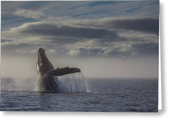 Humback Whale Breaching In Chatham Strait Greeting Card by Wild Montana Images