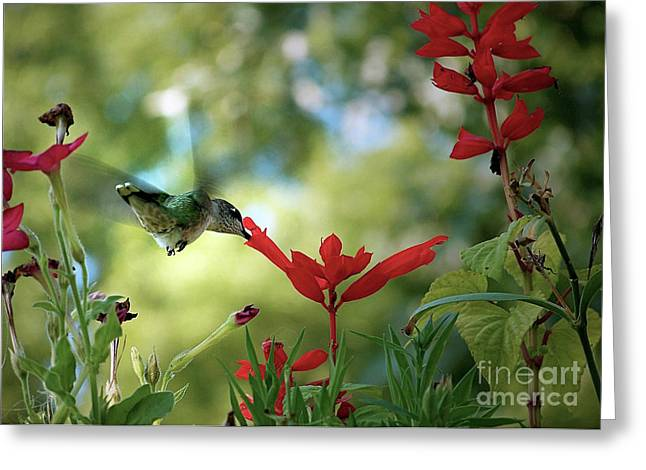 Hummingbird Delight Greeting Card by Sue Stefanowicz