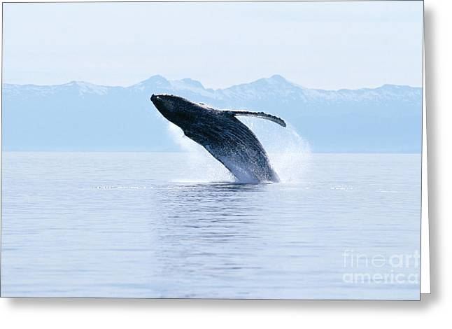Humpback Whale Breaching Greeting Card by John Hyde - Printscapes