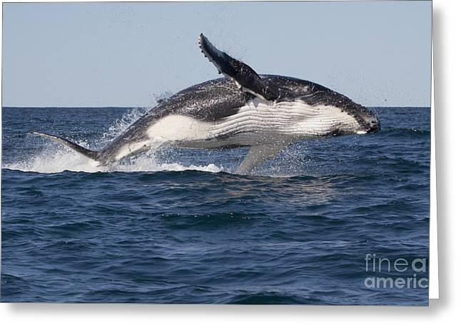 Humpback Whale Calf Breaching Greeting Card