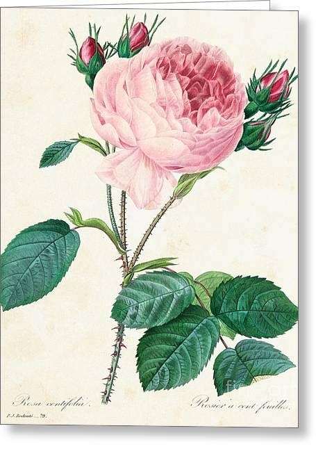 Hundred Leaved Rose Greeting Card