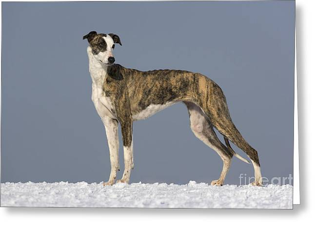 Hungarian Greyhound Greeting Card