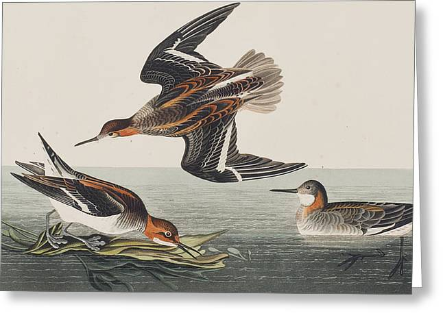 Hyperborean Phalarope Greeting Card by John James Audubon