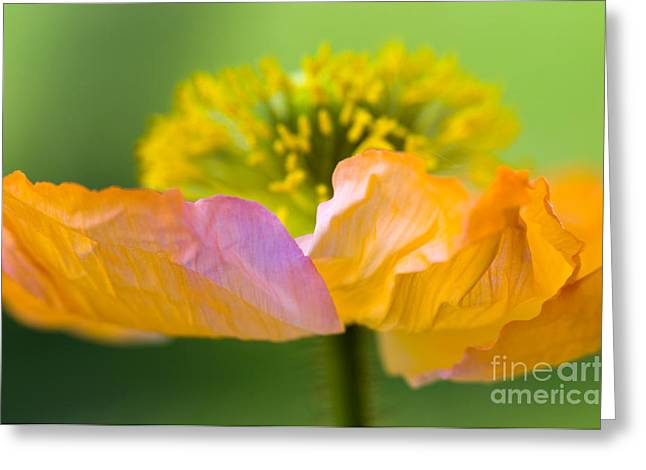 Iceland Poppy Greeting Card by Silke Magino