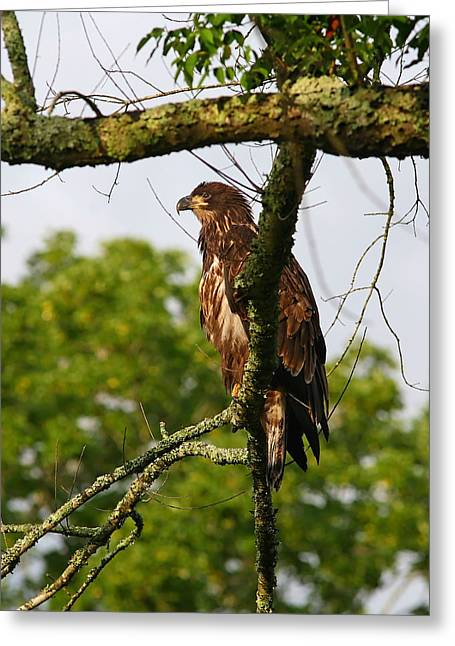 Immature Bald Eagle Greeting Card by James Jones