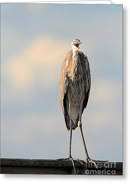 Immature Great Blue Heron Sticks Toungue Out Greeting Card