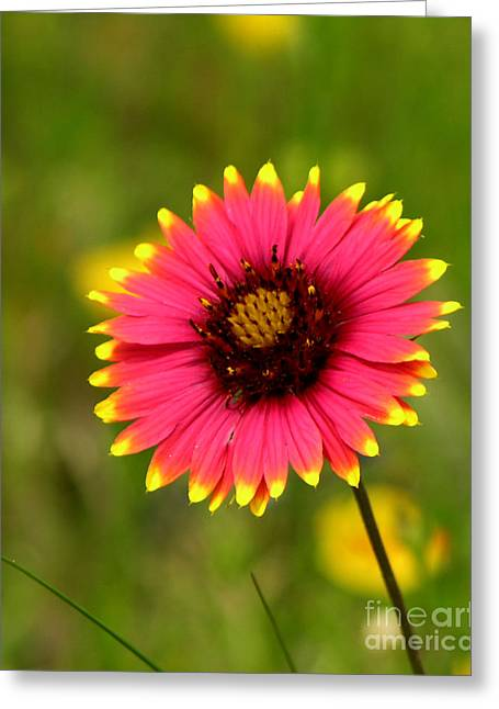 Indian Blanket Greeting Card by Paul Anderson